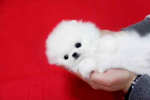 Adorable cachorro Toy Pomerania disponibles