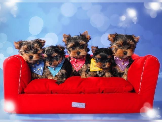 regalo y entrenados cachorros de Yorkshire terrier en adopción. t Yorkshire Terrier 911