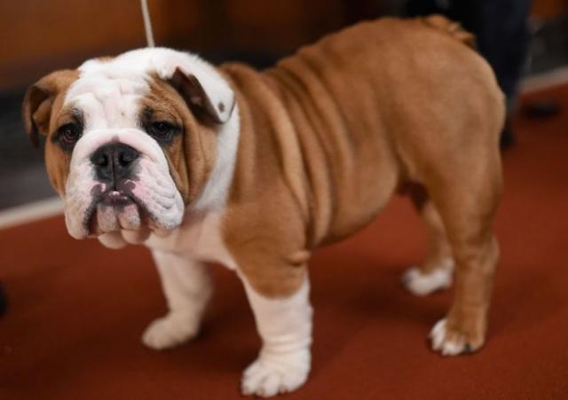 Bulldog Inglés adorable AKC súper