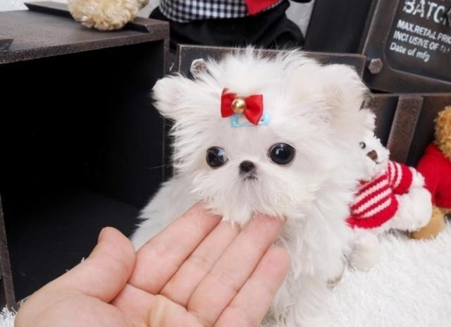 Regalo mini toy BICHON MALTES Cachorros,