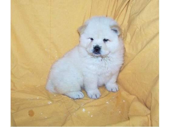 Regalo crema cachorro chow chow preciosos para su aprobación gra