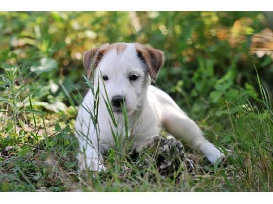 Regalo Jack Russell Terrier cachorro preciosos para su aprobació