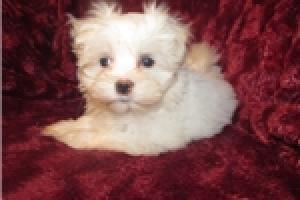 preciosos cachorros Bichon maltes para la adopción