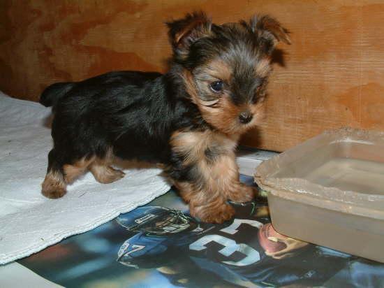 preciosos Pigmeos yorkshire toy adorable para la venta