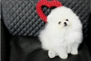 Excelente camada pomeranian toy adorable sur para la adopcion