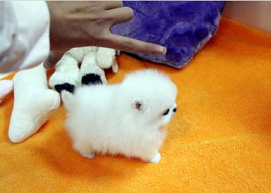 adorable cachorros pomeranian toy encreible para la adopción