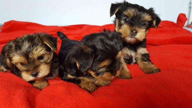 BONITOS YORKSHIRE TERRIER TOY