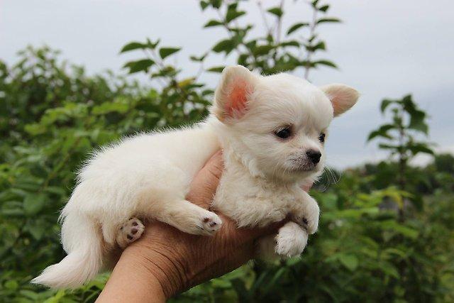 Los mejores Chihuahua, gran ocasión