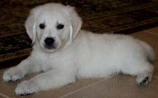 Regalo cachorros Golden Retrieve listo en adopcion