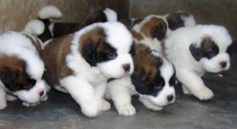 regalo cachorro de San bernardo