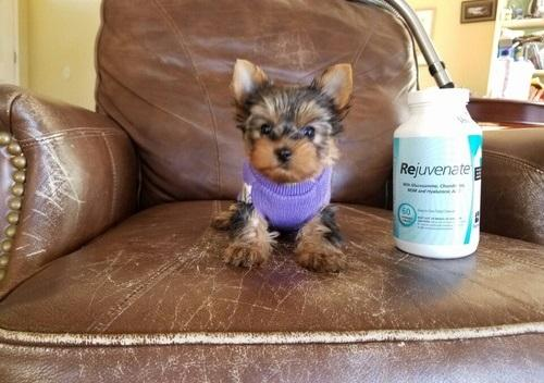 REGALO Perrito de Yorkshire Terrier para la adopción