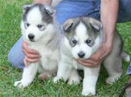 cortar y husky siberiano adorable para adopción