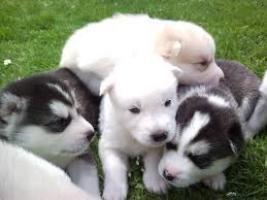 REGALO Preciosos HUSKY Cachorros Garantizados..
