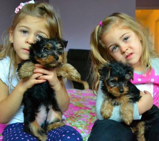 Adorables cachorros yorkie para su aprobación
