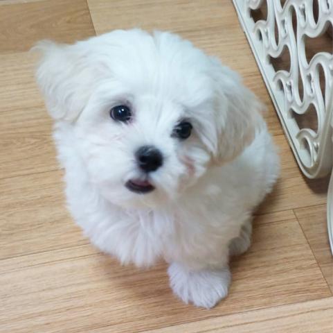 adorable preciosos mini toy Cachorros bichon maltes para adopcion