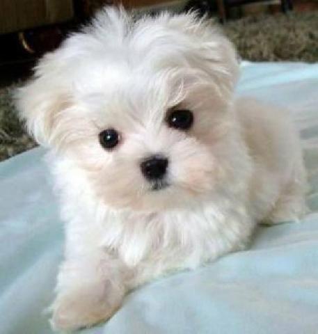 preciosos mini toy Cachorros bichon maltes para adopcion