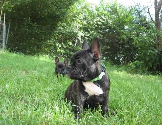 preciosos Cachorros Bulldog Frances para adopcion