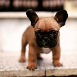 adorable bulldog frances cachorros para su aprobación