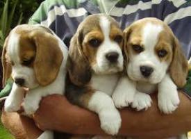 Beagle cachorros pura raza