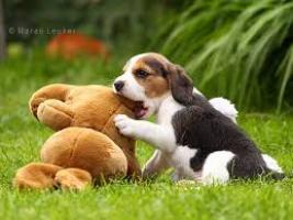 Regalo Los cachorros lindos del beagle