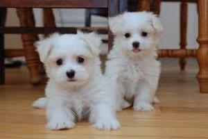 Cachorros Bichon Maltese para su adopcion libre