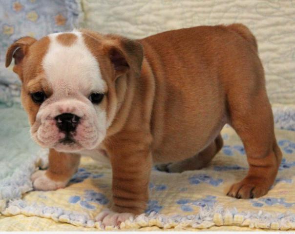 Increíble Bulldogs Inglés disponibles para adopción