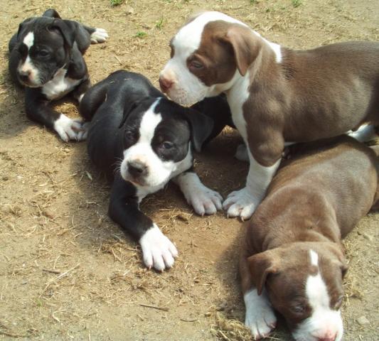 REGALO Los cachorros PitBull americano