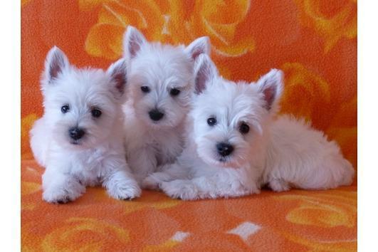 Cachorros de Westie Terrier