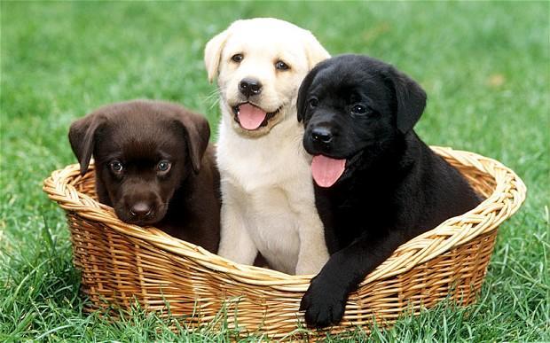 Los cachorros de Labrador dulces