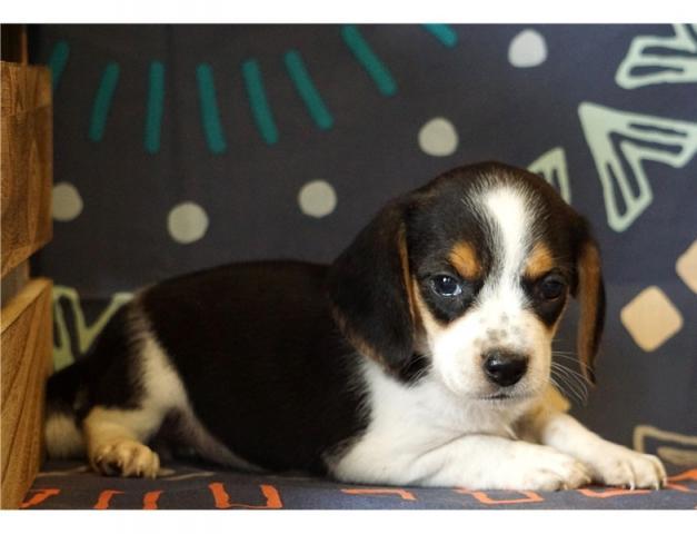 Regalo Cachorros Beagle disponibles