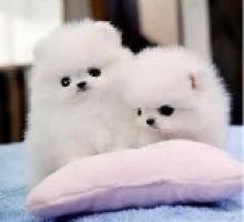 Regalo Mini Toy Cachorros Pomeranian