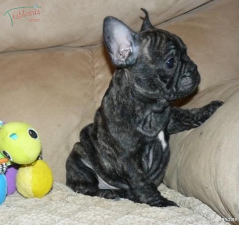 Regalo Bulldog Frances Con LOE y PEDIGREE.