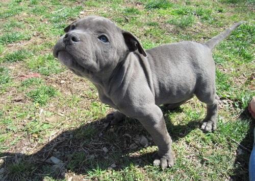 Regalo Pura Raza Pitbull Cachorros Garantizados