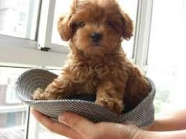 REGALO Rescate y Adopción: Adoptar un caniche