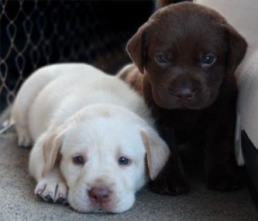 REGALO Los cachorros de Labrador Retreiver