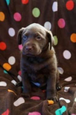 REGALO AKC cachorros de Labrador