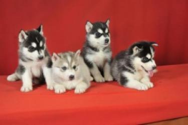REGALO Los cachorros AKC registrados Husky siberiano