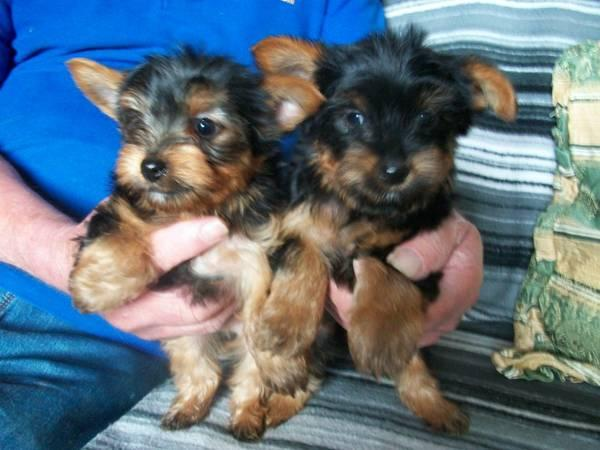 Yorkie cachorros adorables para Re-homing
