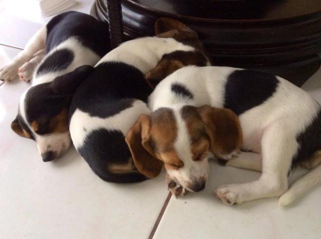 Regalo camada de cachorros Beagle
