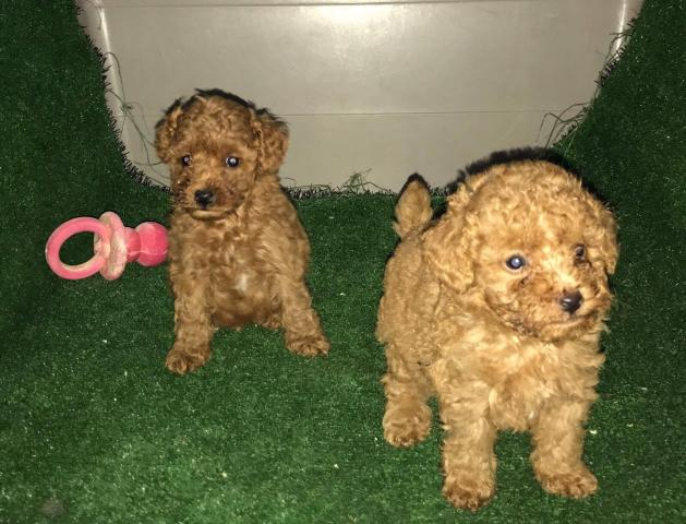Caniches toy preciosos cachorros de color rojo una pasada