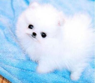 Preciosos cachorros de pomerania.