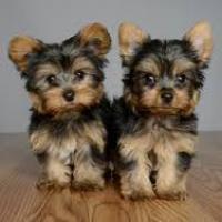 Cachorros Yorkshire Terrier para su adopcion libre