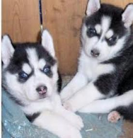 regalo cahorros de husky