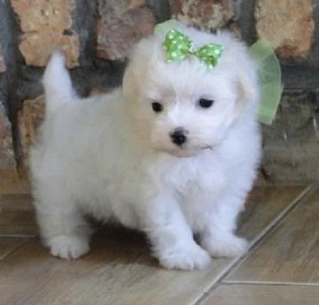 Regalo cachorros Bichon maltes para adopcion