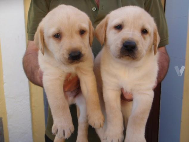 Cachorros LABRADORES Con Envio Gratuito
