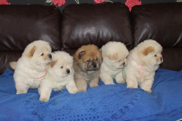 Regalo Chow Chow cachorros