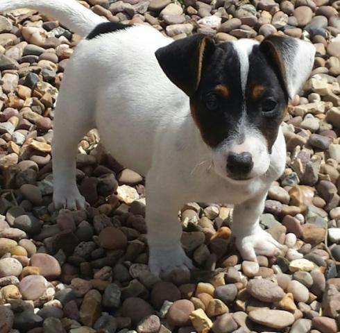Regalo Cachorros Jack Russell Terrier