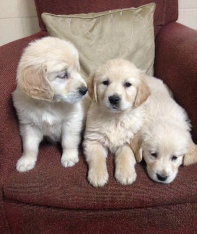 Regalo Golden Retriever cachorros