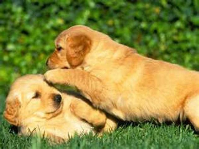 Golden Retriever adorable preciosos