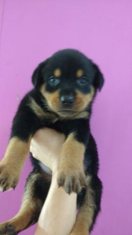 adorable cachorros Rottweiler terriere para la adopción preciosos